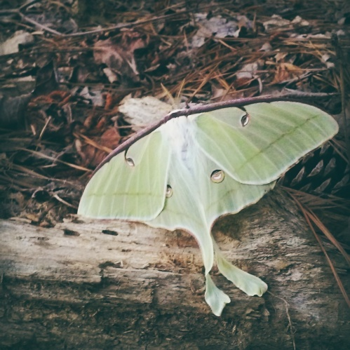 A luna moth...they only live for seven days!